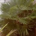 Pálma /Palm/