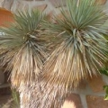 Yukka /Yucca/