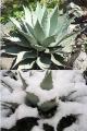 Agave megalacantha /inaequidens/ kicsi