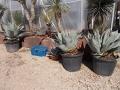 Agave ovatifolia 60-80cm