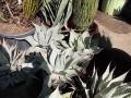 Agave ovatifolia 40-50cm.