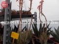 Aloe humillis