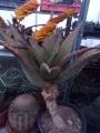 Aloe marlothii 1.3m