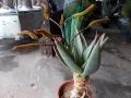 Aloe marlothii 1m