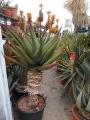 Aloe marlothii extra
