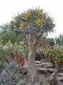Aloe ramosisima