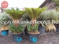 Cycas revoluta 60-70cm törzs