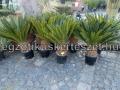 Cycas revoluta 80-90cm