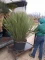Dasylirion miquihuanensis 1.5m