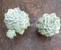 Echeveria x graptopetalum hybrid