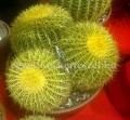 Echinocactus grusonii nagy telep