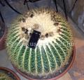 Echinocactus grusoni c 60 extra