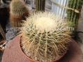 Echinocactus grusonii albispinus