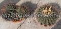 Echinocactus platyacanthus / syn ingens/ nagy