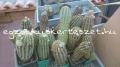 Echinocereus baileyi idős növények