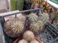 Echinocereus coccineus telepek..