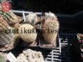 Echinocereus dasyacanthus