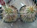 Echinocereus engelmannii variegatus