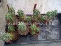 Echinocereus triglochidiatus 12-15cm telep