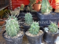 Echinocereus triglohidiatus 1 tövisű szelekció