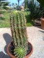 Echinopsis oxygona 50cm