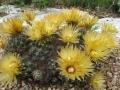 Escobaria missouriensis 1