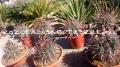 Ferocactus coloratus hybridek.20-25