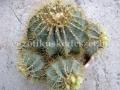 Ferocactus glaucescens telep