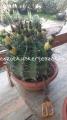 Ferocactus herrerae 35