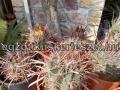 Ferocactus hybridek..