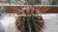 Ferocactus rectispinus 25 /40/