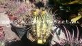 Ferocactus variegata-k