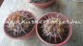 Ferocactus viridescens.