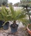 Jubea chilensis 20-30cm törzs