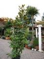 Magnolia grandiflora 2.7-2.8m