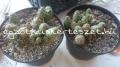 Opuntia fragilis telep 2
