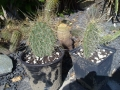 Opuntia hystricina