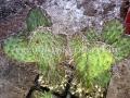 Opuntia nigrescens