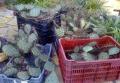 Opuntia phaeacantha nagy telepek