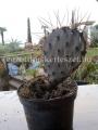 Opuntia pheacantha x macrocentra hybrid
