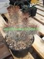 Opuntia polyacantha v. hystricina