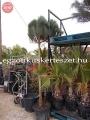 Pinus pinea 3m