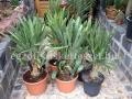 Rhapidophyllum histrix 90-100cm