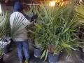 Rhapidophyllum histrix 150-170cm