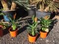 Strelitzia reginae 50-60cm
