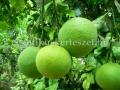 Télálló citrom