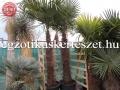 Trachycarpus fortunei 150cm törzs