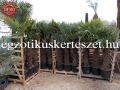 Trachycarpus fortunei 60-80cm törzs