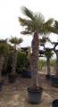 Trachycarpus fortunei  170-280cm-ig