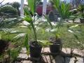 Trithrinax brasilensis 1m